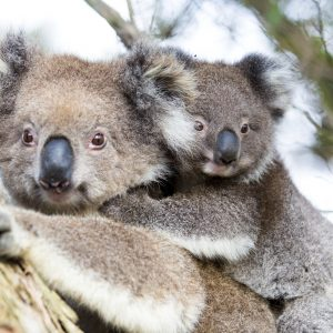 Australia Baby Koala Bear and mom.