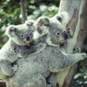 anne-keiser-a-koala-bear-hugs-a-tree-while-her-baby-clings-to-her-back